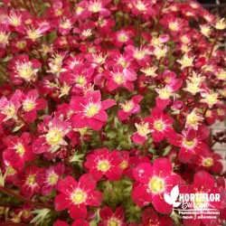Saxifrage arendsii rouge